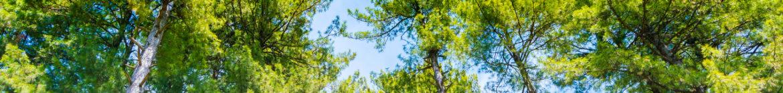 bosque de pinos pinada stock